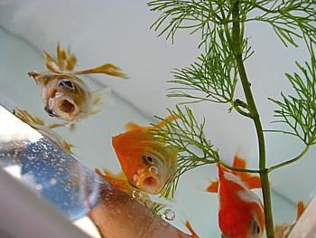 金魚導入と水槽立ち上げの注意5