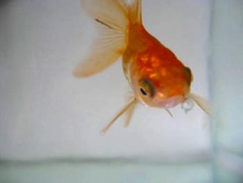 オランダ金魚2