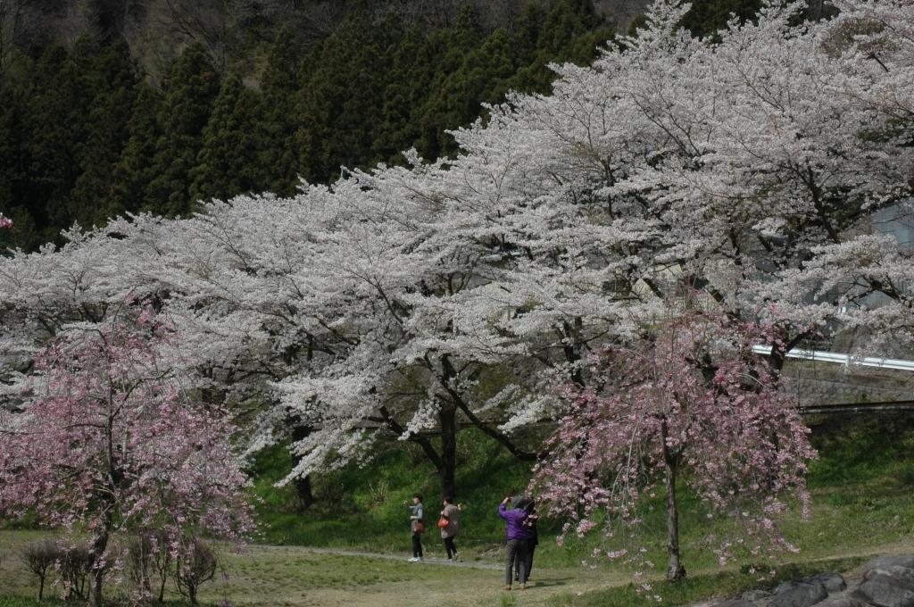 黒保根運動公園桜2