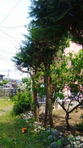 羽村市杉の木