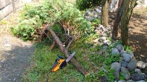 羽村市杉の木伐採