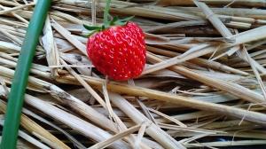 羽村市イチゴ収穫