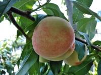 羽村市自宅の庭になった桃
