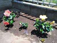 羽村市自宅の庭に咲くハイビスカス