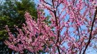 羽村市自宅の桃の木の花