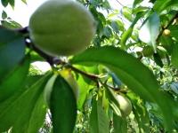 羽村市自宅の桃の実
