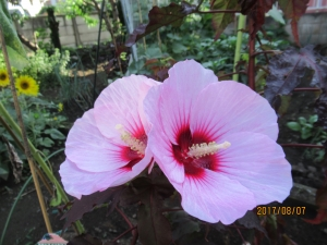 西洋フヨウの花