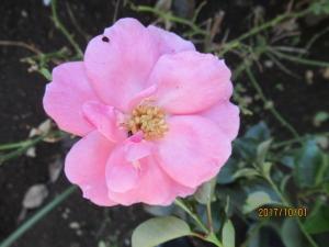 羽村市バラの花