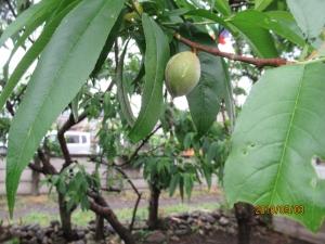 羽村市桃の実の間引き