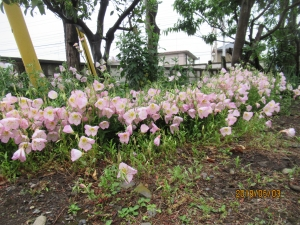 羽村市羽東庭の花