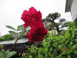 羽村市羽東庭の薔薇