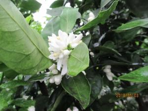 羽村市羽東みかんの花