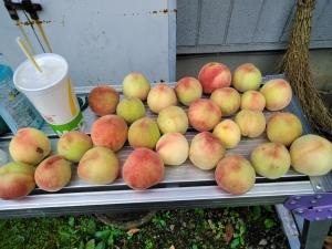 羽村市自宅の庭に出来た桃