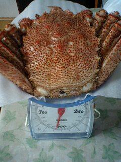 マルマサ毛蟹