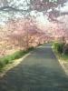 満開の桜トンネル