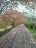 桜吹雪の道