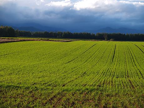雨上がりの小麦畑