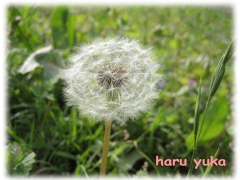 haru yuka tanpopo