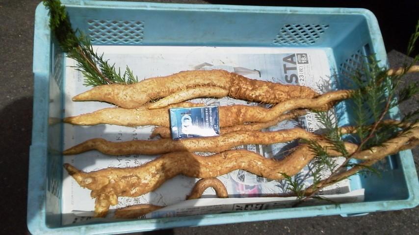 自然薯の初物