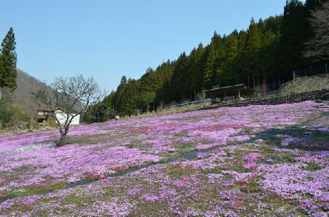 國田家の芝桜_1.jpg