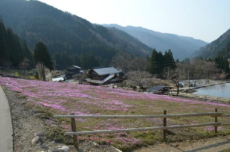 國田家の芝桜_3.jpg