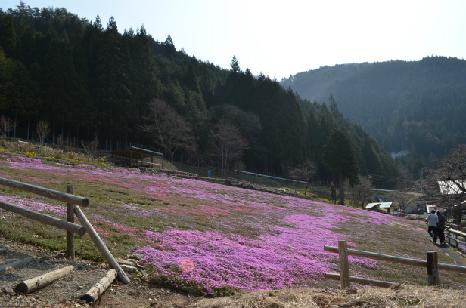 國田家の芝桜_4.jpg
