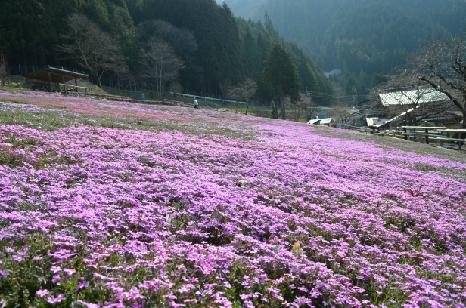 國田家の芝桜_5.jpg