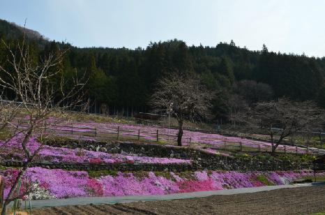 國田家の芝桜_7.jpg