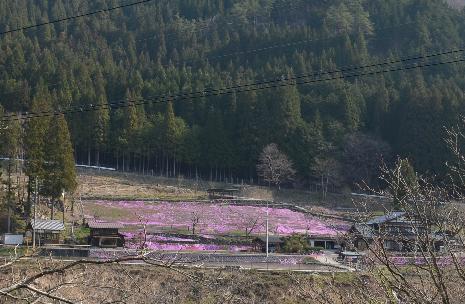 國田家の芝桜_8.jpg