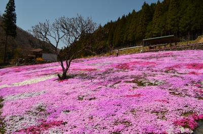 國田家の芝桜_3