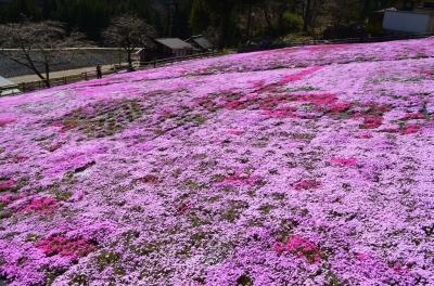 國田家の芝桜_4