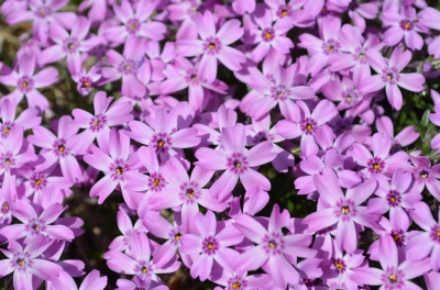 國田家の芝桜_5