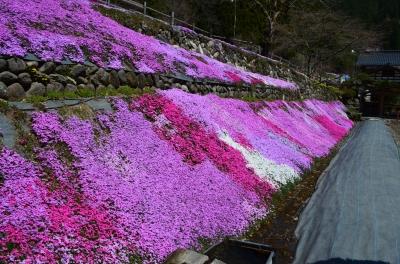 國田家の芝桜_7