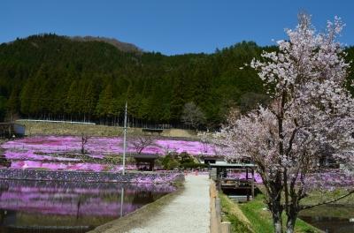 國田家の芝桜_8