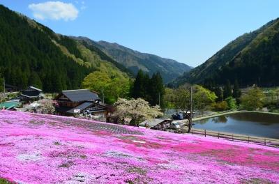 國田家の芝桜_1