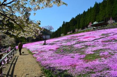 國田家の芝桜_2