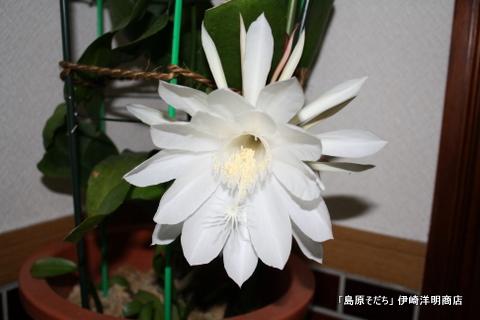 田中さま撮影の月下美人の花