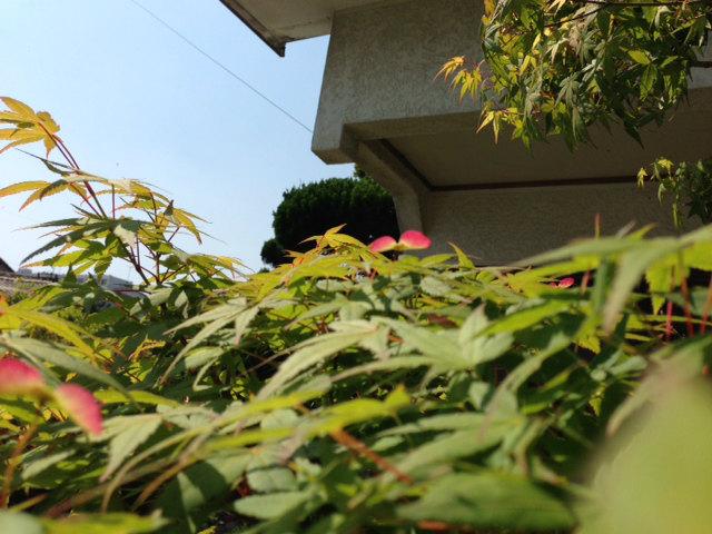 もみじの花2