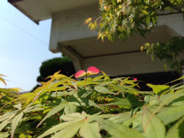 もみじの花3