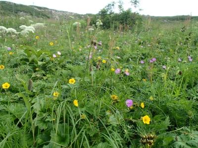 荒川岳下のお花畑