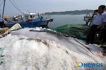 韓国 偶然クジラ ミンククジラ