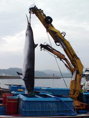 韓国 偶然クジラ ミンククジラ 密漁
