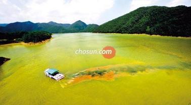 韓国 「藻だらけ」になった大清湖