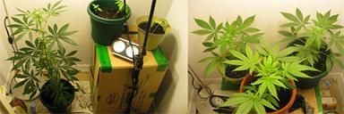 ディッシュインサイドの掲示板に直接投稿された大麻の写真