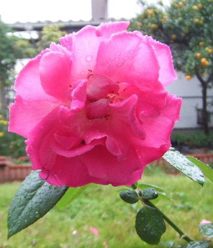 雨の日のバラ アップ