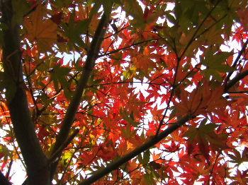 紅葉の影絵