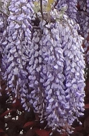 藤の花 3.jpg