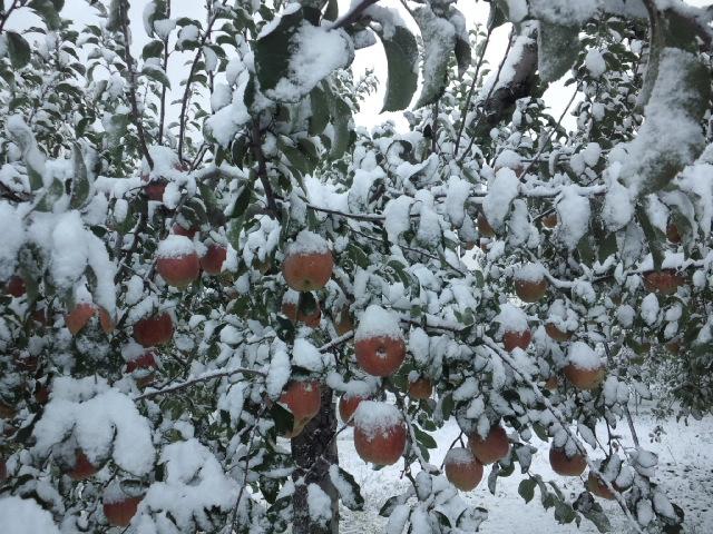リンゴにも雪