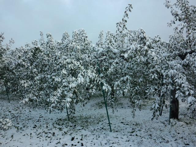収穫中の雪