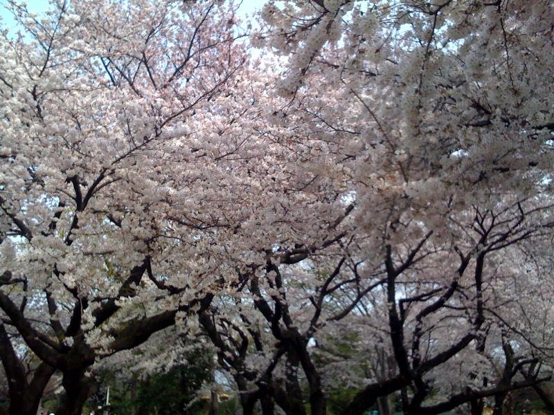 桜 お花見 おもしろい Tシャツ